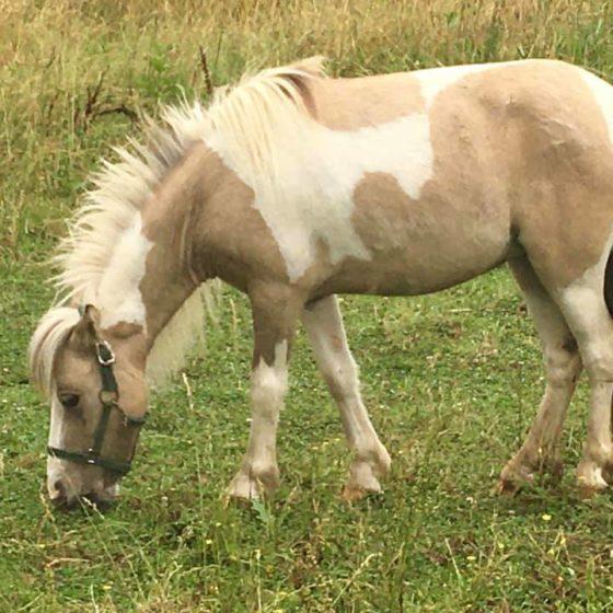 bubbles-mini-horse